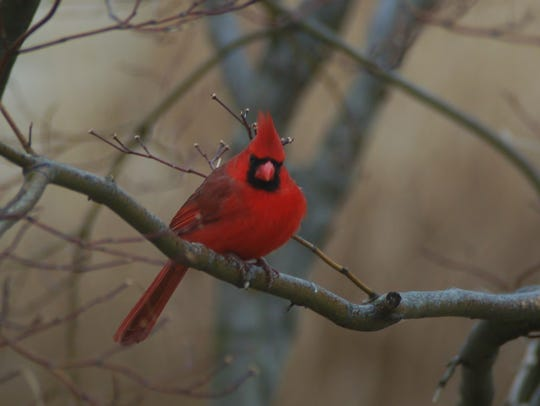 A Christmas cardinal sits in a tree.