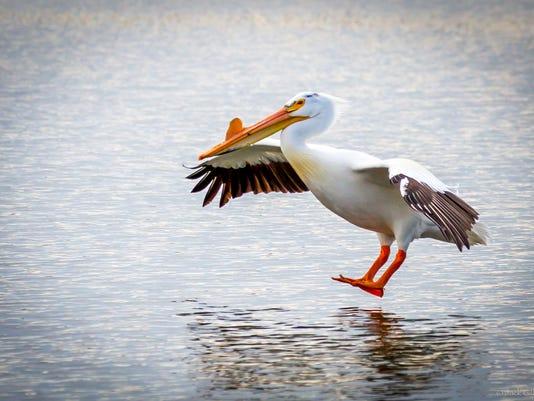 pelican.fly.jpg