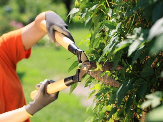 Pruning actually increases the amount of growth to any plant.