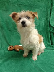 Candice is a friendly, 13-pound, 5-month-old terrier-mix