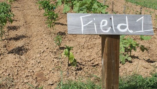 In this file photo from early September, crops begin to grow in a field planted at Casey Jones Village.