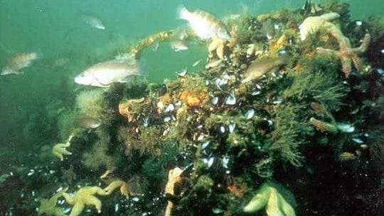 An underwater view of an artificial reef on the coast of New Jersey functioning as a marine habitat.