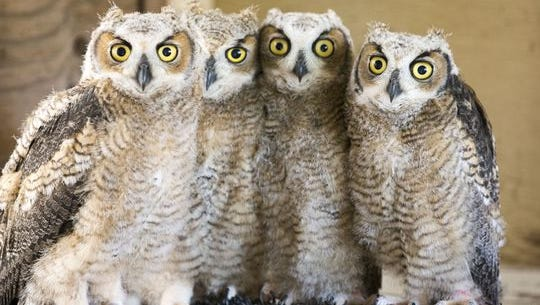 These four great horned owlets were orphaned when their mother was shot in a tree.