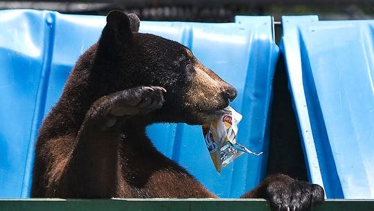 Bear selects a snack from a Lee County dumpster.