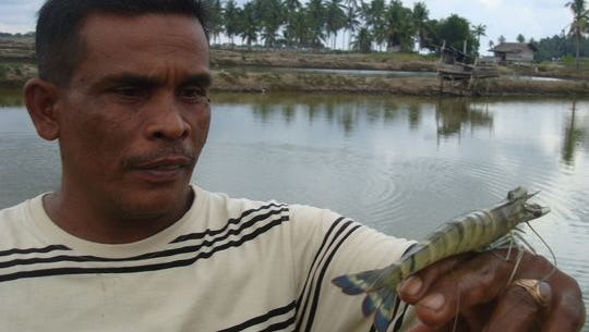 A farmer in Banda Aceh, Indonesia, holds a tiger prawn near the ponds where it was raised.