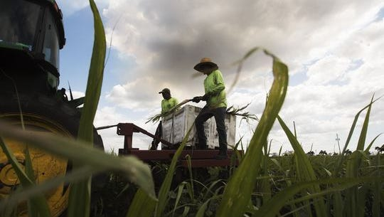 Pedro Yanes and Augusto Cazeras of Domingo Produce Inc. plant sugar cane on a field that abuts Lake Okeechobee near Clewiston.
