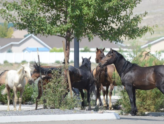 Wild horses in Fernley 1