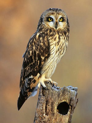 Shorty, an short-eared owl cared for at the center since being found, injured, at Detroit Metro Airport in 2011.