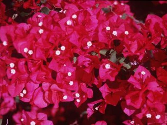 A garden talk on growing bougainvilleas is coming up at Edison & Ford Winter Estates.