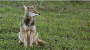 A coyote sits in a yard.