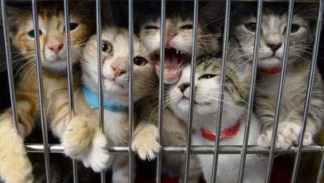 With the help of volunteers 48 kittens are transported from the Camden County Animal Shelter to Sterling Animal Shelter in Massachusetts on Sunday morning.