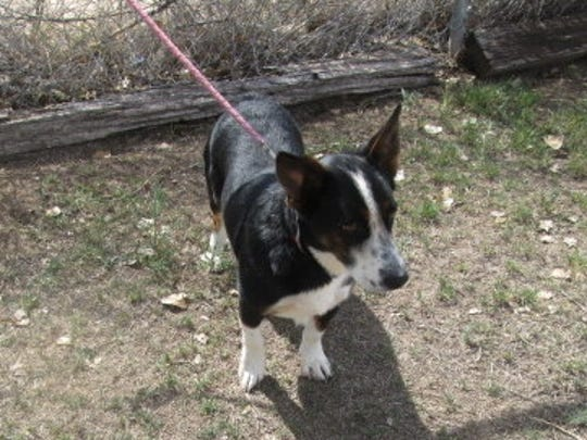 This corgi mix is male and two years old. He was left in outside lock up. He is friendly, seems to be good with other dogs, loves to play and needs room to run. He seems to be good with children. For more information about adopting a Pet of the Week or other furry friends visit Alamogordo Animal Control, 2910 N. Florida Avenue, Monday through Saturday between noon and 5 p.m. or contact them at 439-4330.