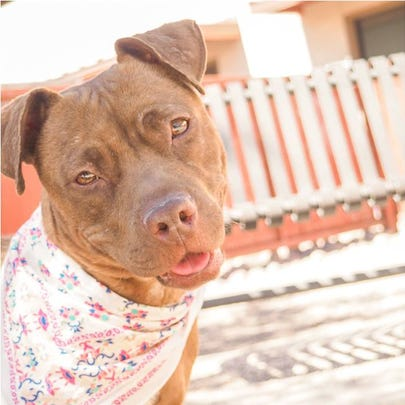 Sasha can be found at Marciopa County Animal Care and