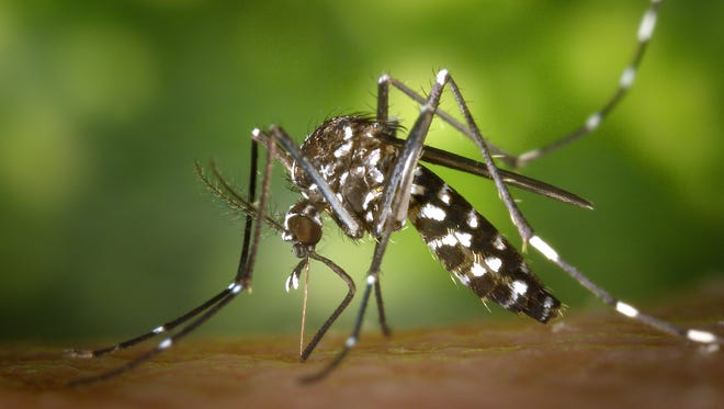 Aedes albopictus mosquito, which can transmit the Zika virus.