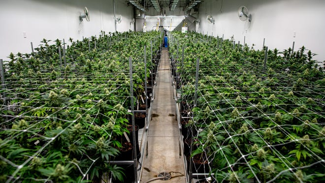 Cannabis plants in the flower room have nearly reached the harvesting stage at the Ascend Illinois cannabis cultivation and processing facility, Wednesday, Dec. 4, 2019, in Barry, Ill. The 75,000-square-foot facility can produce around 100 pounds of cannabis flower per week taking it from seed to finish in about 15 to 20 weeks.
