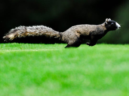 A squirrel makes its way across a fairway at Lagoon Park Golf Course in Montgomery, Ala. on Friday July 18, 2014.
