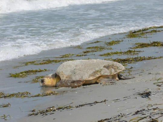 A female loggerhead sea turtle makes a rare daytime trip onshore to nest. Loggerhead turtles normally nest on Southwest Florida beaches at night.