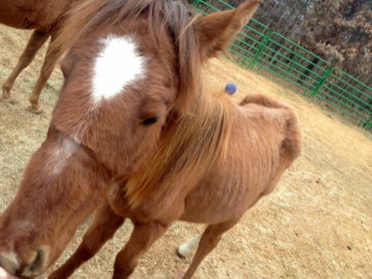 """Clyde, about 2 years old, was found December 2014 in a small pen in Marion County. Hope for Horses Equine Rescue says Clyde has recovered after six months and hopes to find him a """"forever home."""""""