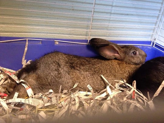 Several bunnies are available at the CCSPCA.