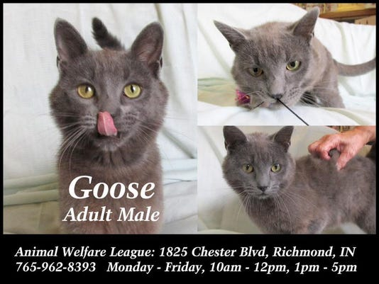 0803 rch pet of week Goose the cat