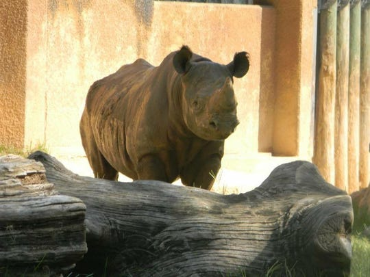 Phineas, an eastern black rhino, will make the more than 1,000-mile journey from Tyler, Texas to Lansing in early April to meet and mate with the Potter Park Zoo's Doppsee if the county board signs off on the expense.