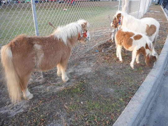 Lennie Bertrand will have his miniature horses in the Edison Festival of Light junior and grand parades.