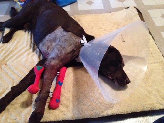 Chocolate lab Moses recovering after surgery.