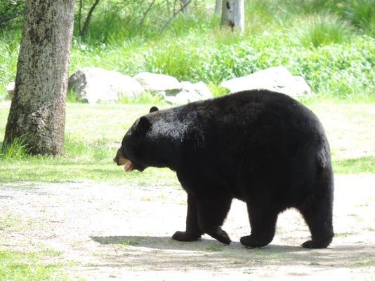 Bear_SusanDarrah0520Marqua.jpg