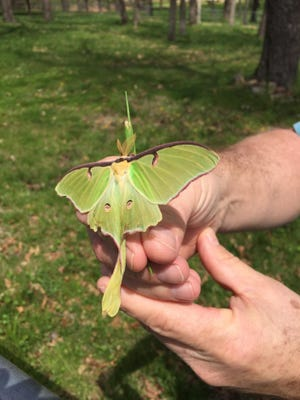 A Luna moth made a rare daytime appearance in our back yard.
