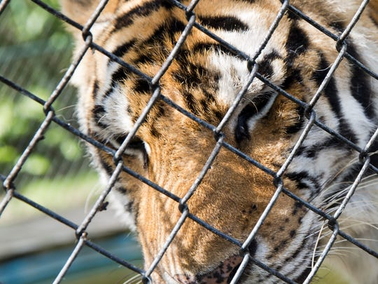 KD, a female Siberian tiger housed at Kowiachobee Animal Preserve in Golden Gate Estates, rubs her face against her enclosure July 8. The nonprofit preserve is home to over 100 animals and serves as a learning facility to educate visitors about animal conservation.