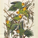 'Carolina Parrot' is a circa 1828 work by John James Audubon (1785 - 1851). It is a hand-colored engraving, etching, aquatint on rag paper.