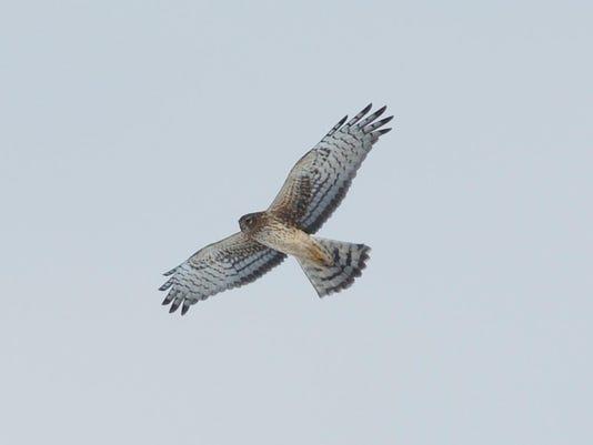 Northern Harrier by David Johnson