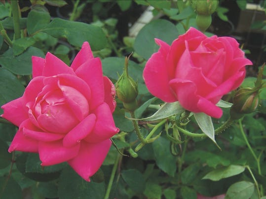 Pink Double Knock Out Rose - Photo.jpg