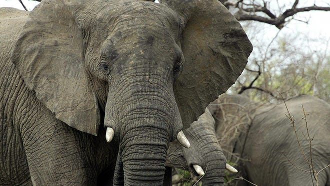Picture taken Oct. 30, 2002 shows three elephants in South Africa's Kruger National Park.
