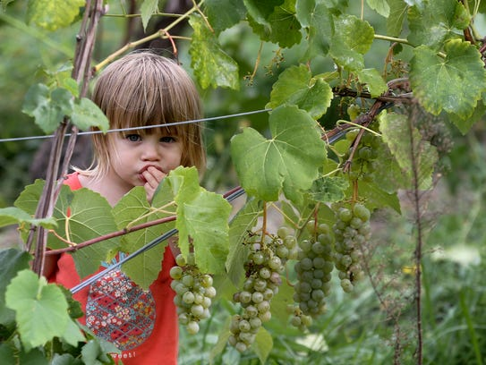 Quinn Stamp tastes grapes in Lakewood's vineyards on