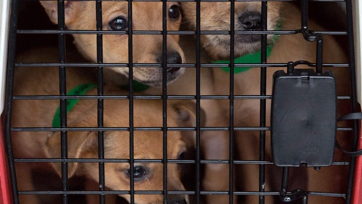Arizona shelter pups head to Pennsylvania to find new families