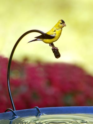 Goldfinches are one of the few birds whose diet consists mostly of seed.