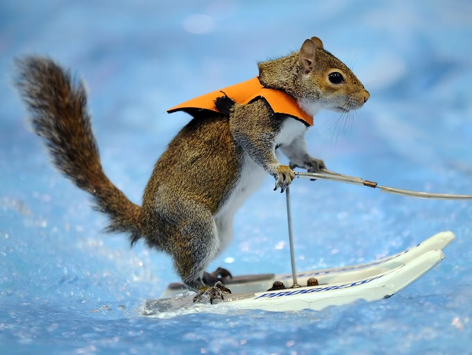 Twiggy, the waterskiing squirrel, makes a few practice
