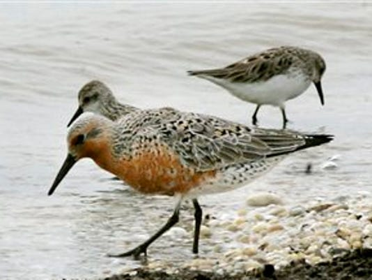 Red Knot Endangered Species