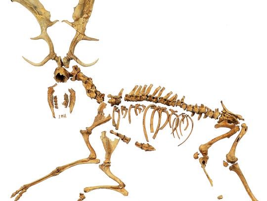Skeleton of an extinct fallow deer from Neumark-Nord,