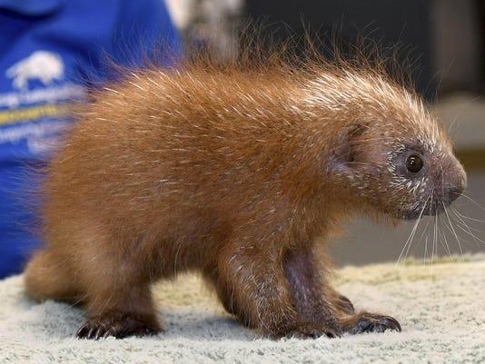 Brookfield Zoo Porcupine