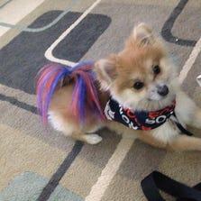 Broncos puppy