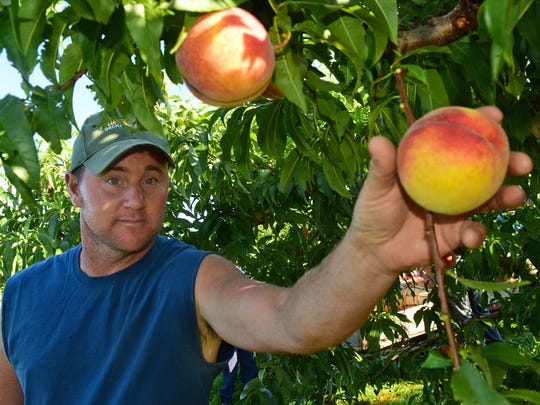 Sean Tracey picks large peaches on Wednesday, August 9, 2017. Peaches and nectarines were being harvested on Wednesday, August 9, 2017 at Tracey's Orchard, 12483 Hollowell Church Road, Greencastle.