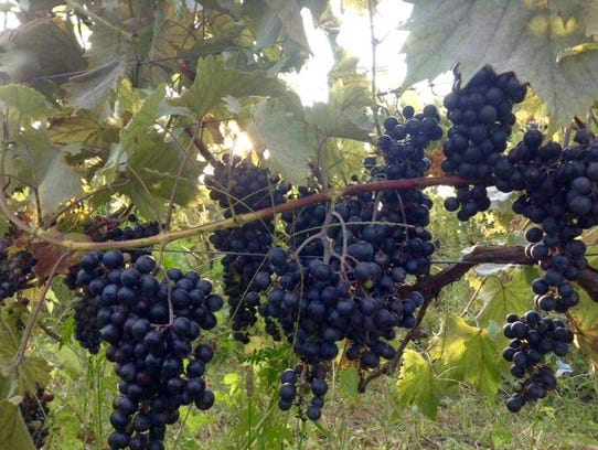 Chambourcin grapes dangle from the vines of Cedarvale
