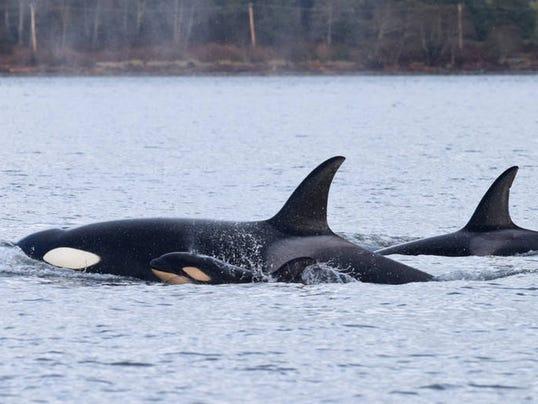 Transient-killer-whale-infanticide.jpg