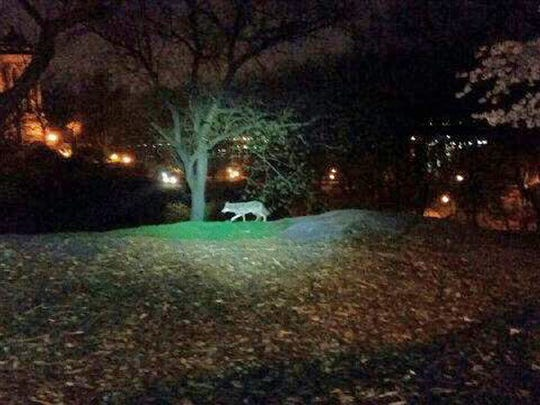 A coyote walks in Riverside Park, on the Upper West Side of Manhattan. This photo was taken April 22, 2015, and released by police.