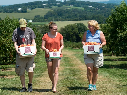 From the left, Jake Derrick, Sarah Clark and Lori Clark return to their car with picked peaches at Brown's Orchards & Farm Market Pick-Your-Own in Springfield Township Sunday August 16, 2015  Paul Kuehnel - York Daily Record/ Sunday News