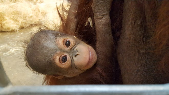Baby Max peeks out from inside Indianapolis Zoo's former orangutan facility.