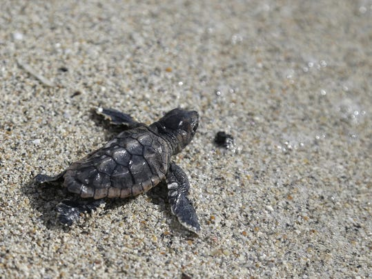 loggerhead sea turtle hatchling makes its way into the ocean along ...