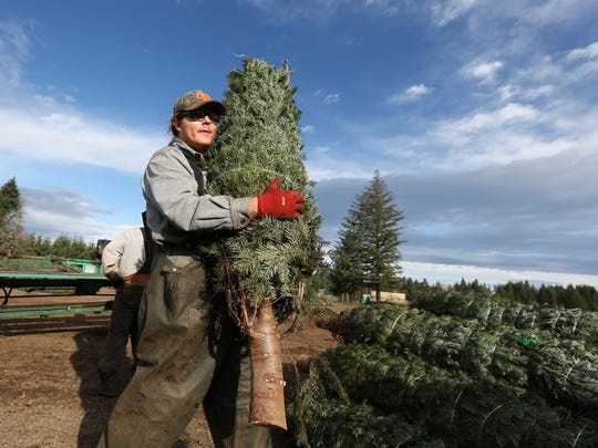 Gerald Beard and fellow workers bale and sort Christmas trees at Hupp Farms in the Silverton area, OR. Christmas trees in Oregon may cost a bit more this year as the supply of holiday firs in the state has dropped.